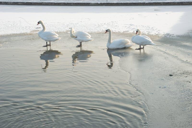 Schwäne auf einem Winter-Teich lizenzfreies stockfoto