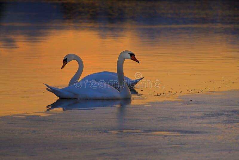 Schwäne auf gefrorenem See stockfotografie