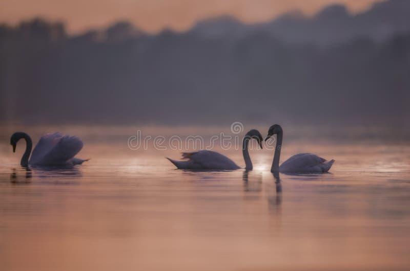 Schwäne auf rosa See bei Sonnenuntergang stockfotografie
