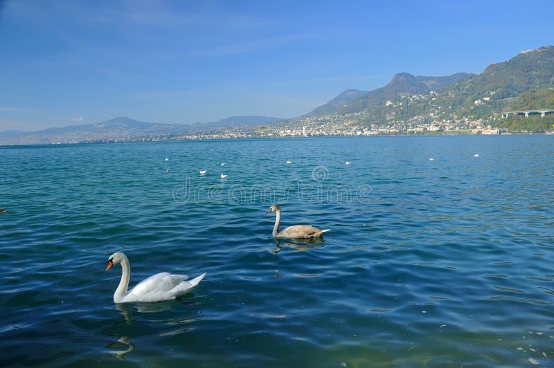 Schwäne auf See Genf stockfotos
