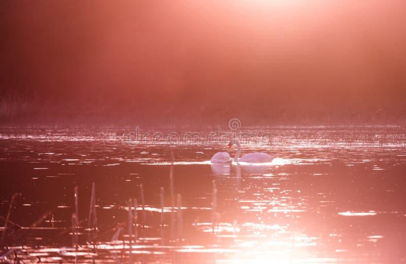 Schwäne auf See im Sonnenunterganglicht stockbilder