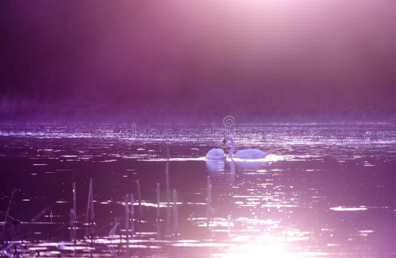 Schwäne auf See im violetten Sonnenunterganglicht stockfotografie