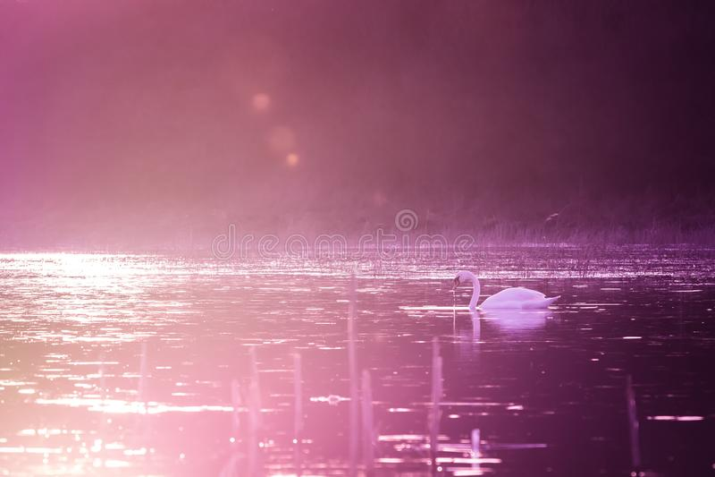 Schwäne auf See im violetten Sonnenunterganglicht lizenzfreies stockfoto