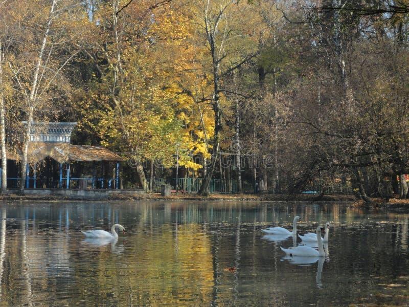 Schwäne, die in einen kleinen See schwimmen stockbild