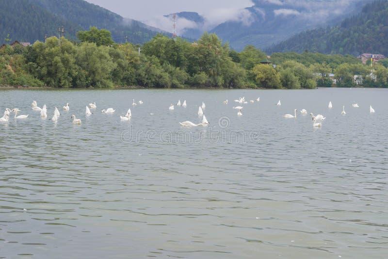 Schwäne, die in See 2 schwimmen lizenzfreie stockbilder