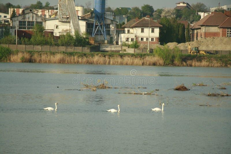 Schwäne in einem Fluss stockbild