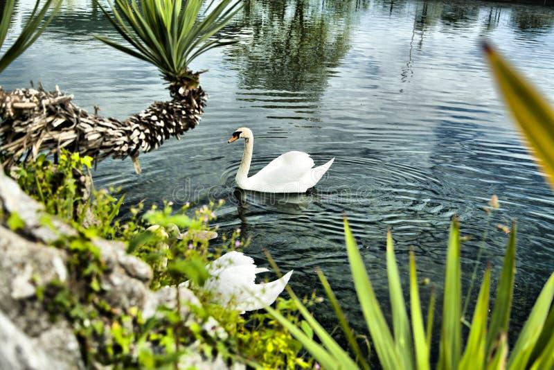 Schwäne in einem Teich lizenzfreies stockbild
