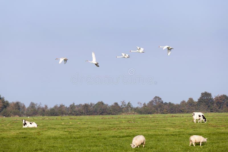 Schwäne fliegen über grüne Wiese mit Schafen und Kühen in Holland stockfoto