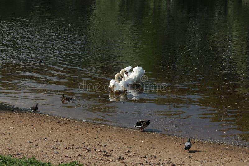 Schwäne im Teich stockbild