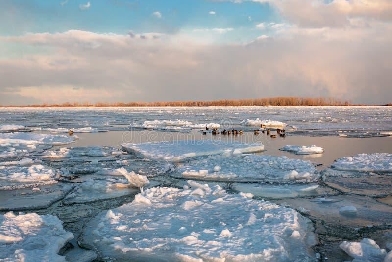 Schwäne in Torontos Cherry Beach während des Winters lizenzfreie stockbilder
