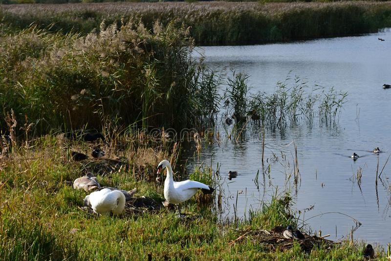 Schwäne u. Cygnets, Strumpshaw-Fenn, Norfolk, England stockfoto