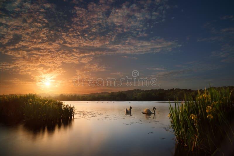 Schwäne und Blumen auf See bei Sonnenuntergang stockbild