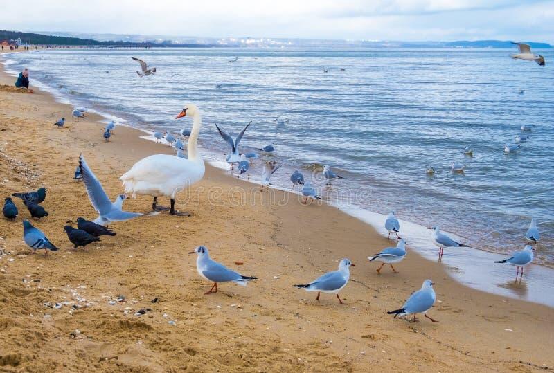 Schwäne und Seemöwen auf dem Strand an der Ostseeküste, Polen lizenzfreie stockbilder