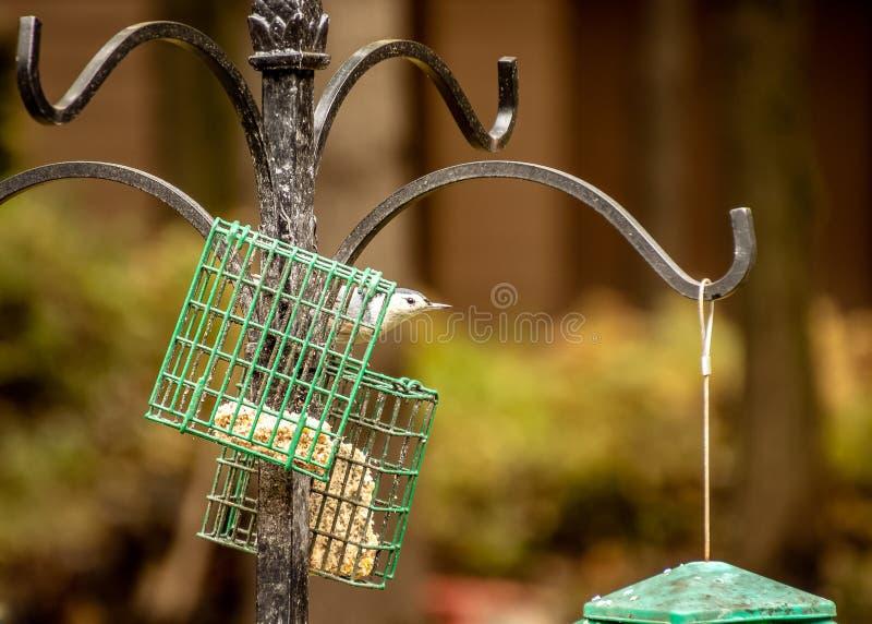 Schwärzen Sie den mit einer Kappe bedeckten Chickadee, der auf Zufuhr in Northwoods von Wiscon gehockt wird lizenzfreie stockfotografie