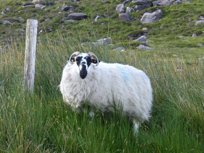 Schwärzen Sie gegenübergestellte Schafe auf Dingle-Halbinsel in Irland lizenzfreie stockfotografie