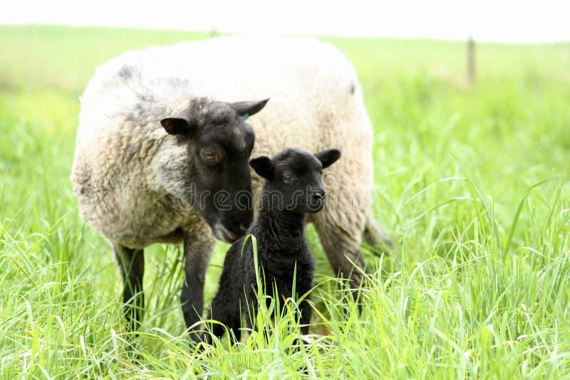 Schwärzen Sie Schätzchen-Schafe mit seiner Mutter lizenzfreie stockfotos