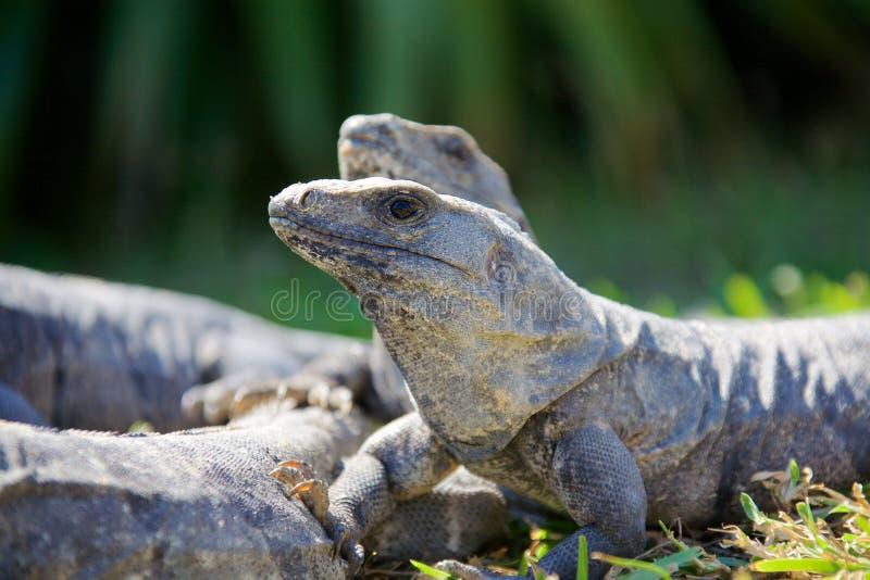 Schwärzen Sie stacheligen angebundenen Leguan stockbilder