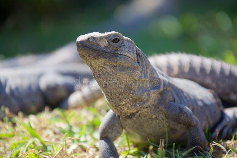 Schwärzen Sie stacheligen angebundenen Leguan stockfoto