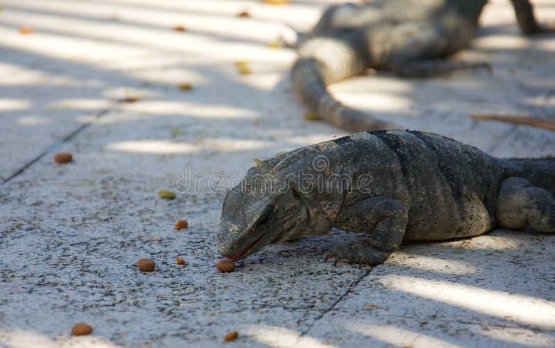 Schwärzen Sie stacheligen angebundenen Leguan stockfotografie