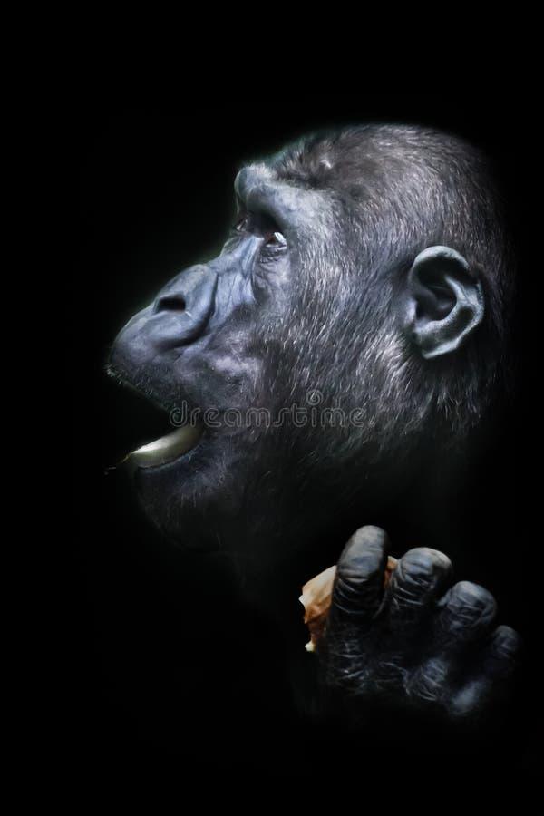 Schw?render Skandal Portr?t von ausdrucksvollen Gef?hlen eines weiblichen Gorillas Getrennter schwarzer Hintergrund lizenzfreies stockbild
