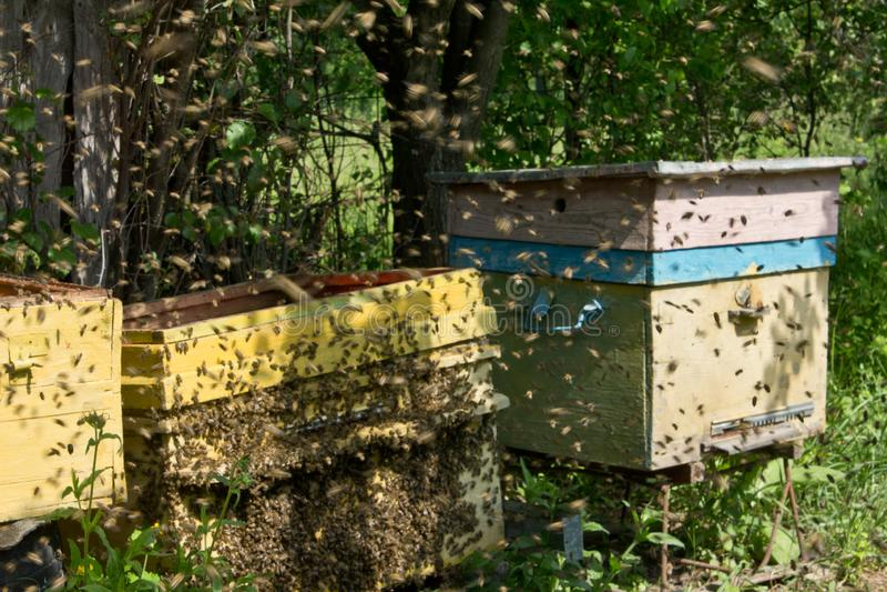 Schw?rmende Bienen stockfoto