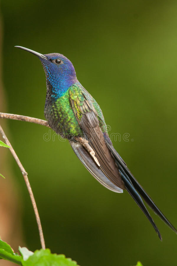 Schwalbe-angebundener Kolibri stockbilder