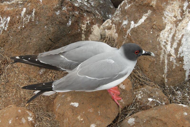 Schwalbe band Möven von Galapagos an stockfoto