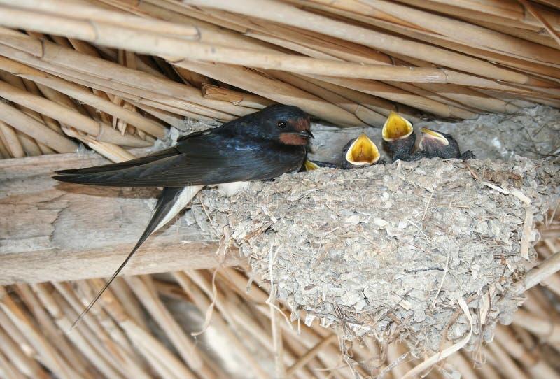 Schwalbe zieht die Küken im Nest ein stockbilder