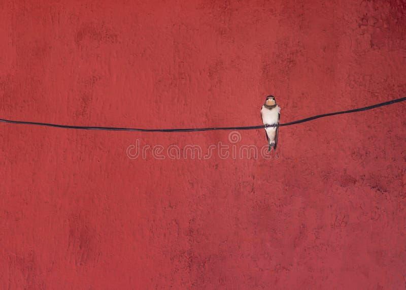 Schwalbenvogel, der auf einem Draht am roten Hintergrund sitzt lizenzfreies stockfoto