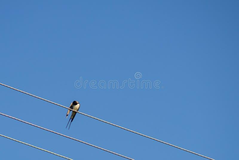 Schwalbenvogel, der an den elektrischen Drähten sitzt Scheunenschwalbe gehockt auf einem Draht, gegen Hintergrund des blauen Himm lizenzfreies stockfoto
