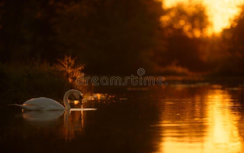 Schwan auf goldenem See bei Sonnenuntergang lizenzfreies stockbild