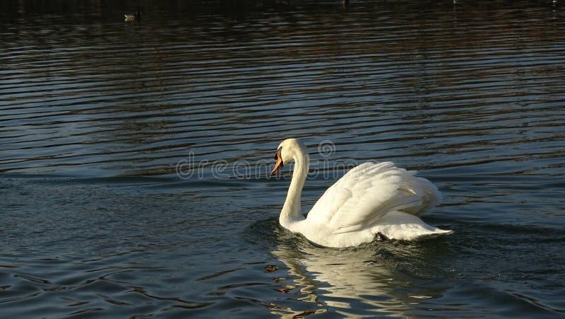Schwan, der auf einen Teich schwimmt stockfotos