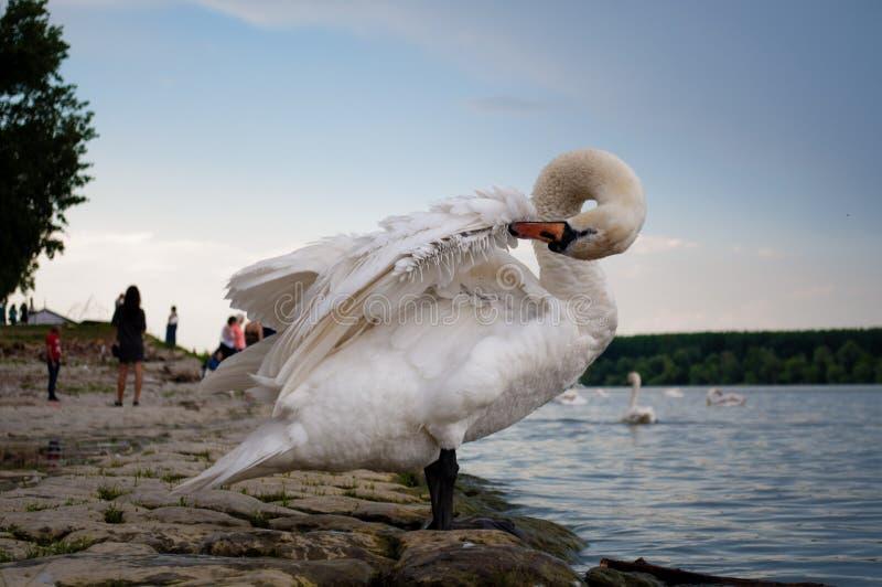 Schwan, der auf der Flussbank sich pflegt stockfotografie