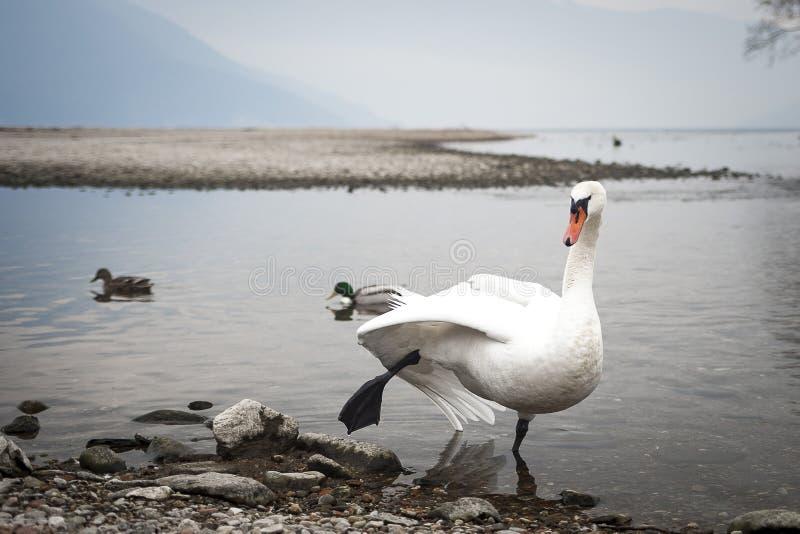 Schwan, der den Flamingo spielt lizenzfreie stockfotos