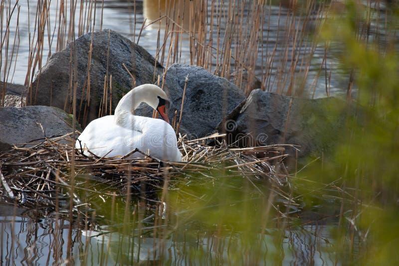 Schwan im Nest auf See in Stockholm lizenzfreie stockfotos