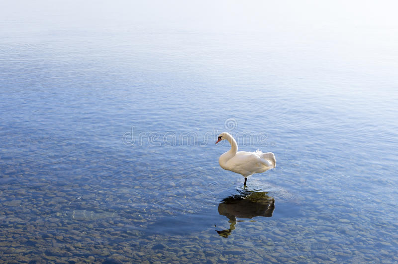 Schwan im See Ohrid lizenzfreies stockfoto