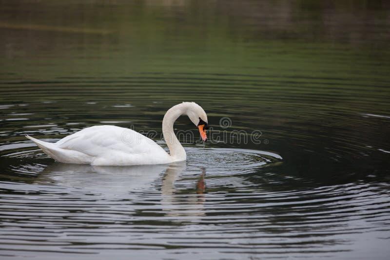 Schwan im Wasser stockfoto