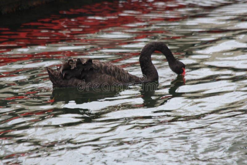 Schwan mit dem roten Schnabel lizenzfreies stockbild
