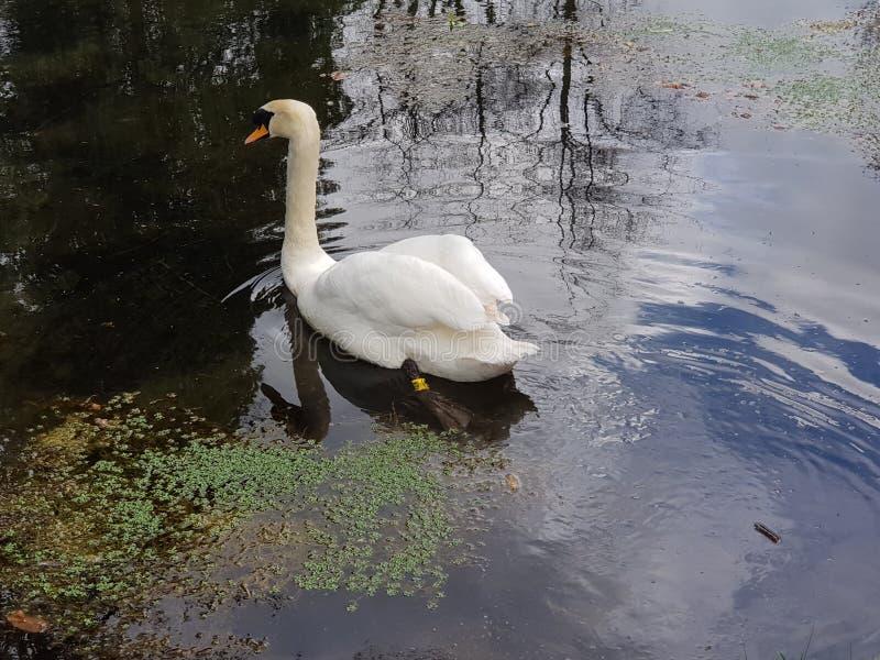 Schwan am Nationalpark des irischen Bolzens lizenzfreie stockfotos