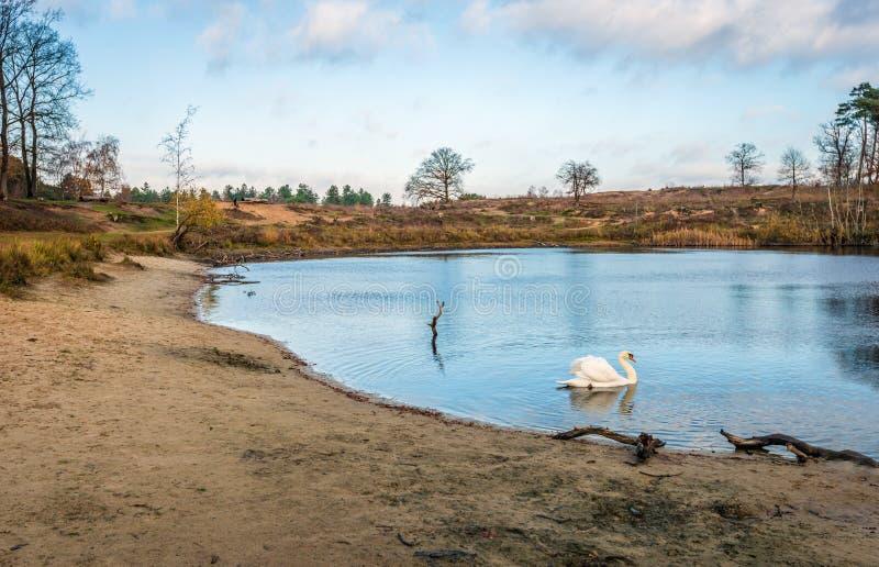 Schwan schwimmt w?rdevoll in einem See, der durch B?ume in den Herbstfarben umgeben wird lizenzfreies stockfoto