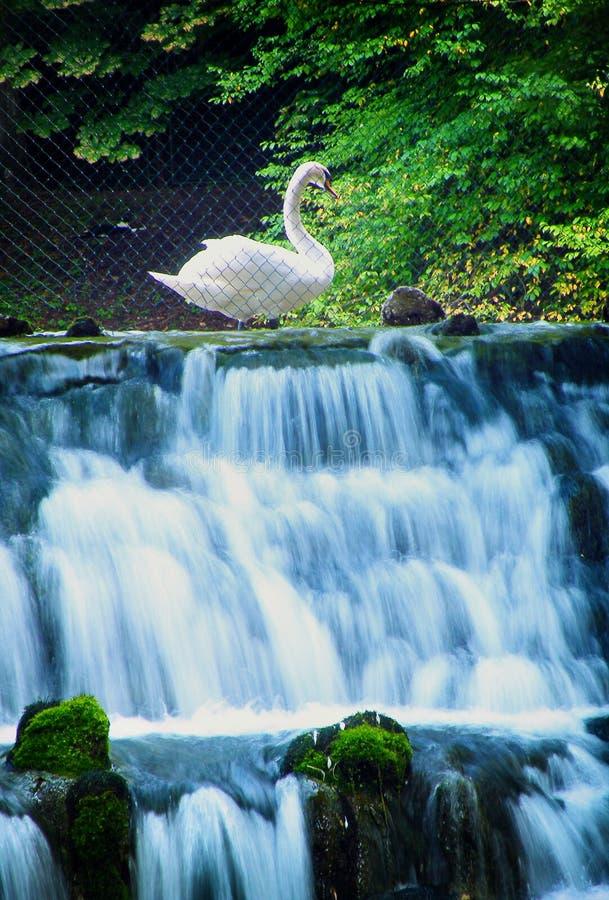 Schwan und Frühling des Bosna-Flusses stockfotografie