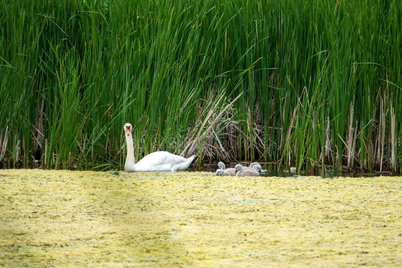 Schwan und seine Nachkommenschaft geht auf eine Exkursion auf dem See stockfoto