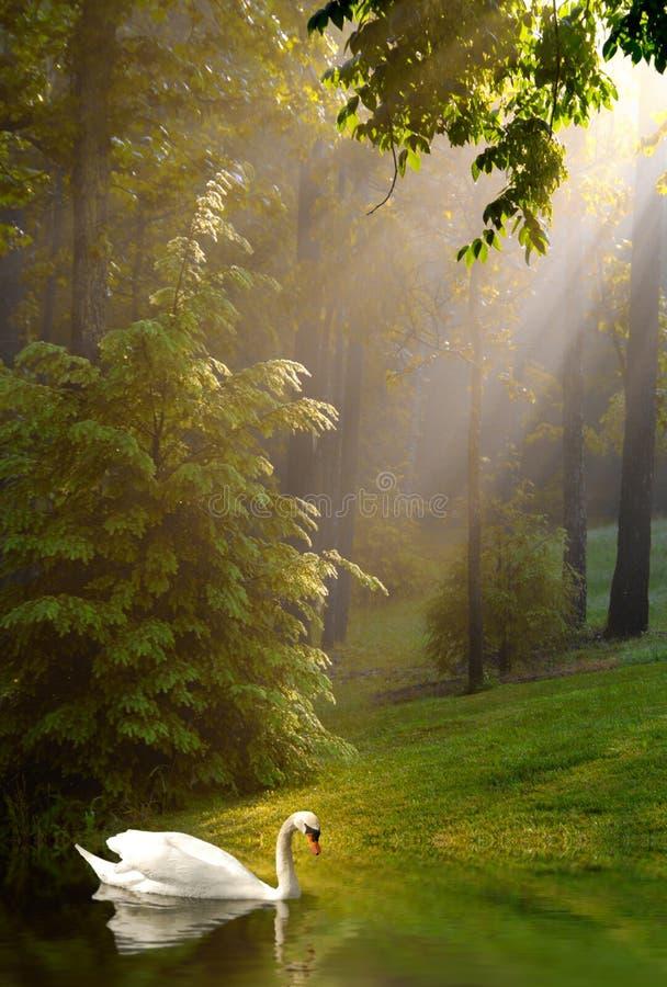 Schwan und strömen Sonnenschein auf nebeligem Morgen stockbilder