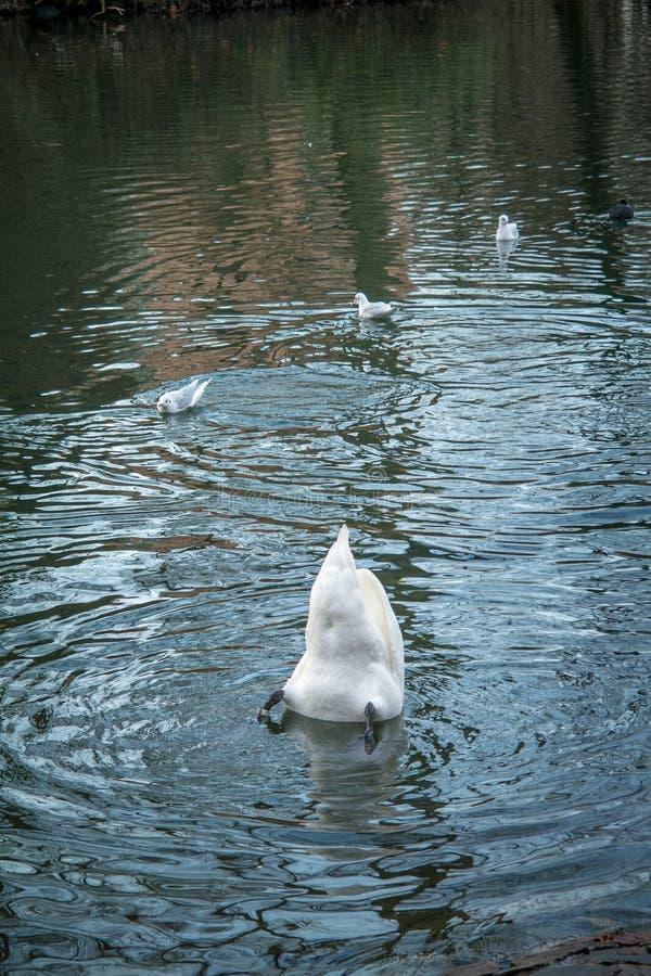 Schwan unter Wasser und Enten im Teich stockbilder