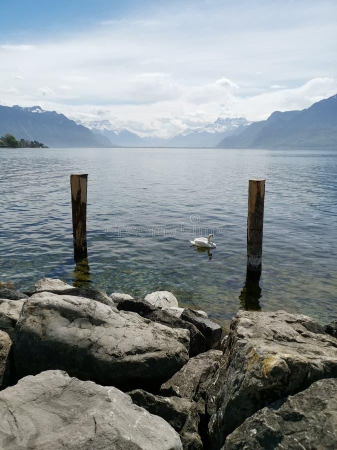 Schwan zwischen 2 Plänen im Wasser bei Genfersee mit Schweizer Alpen als Hintergrund stockbilder