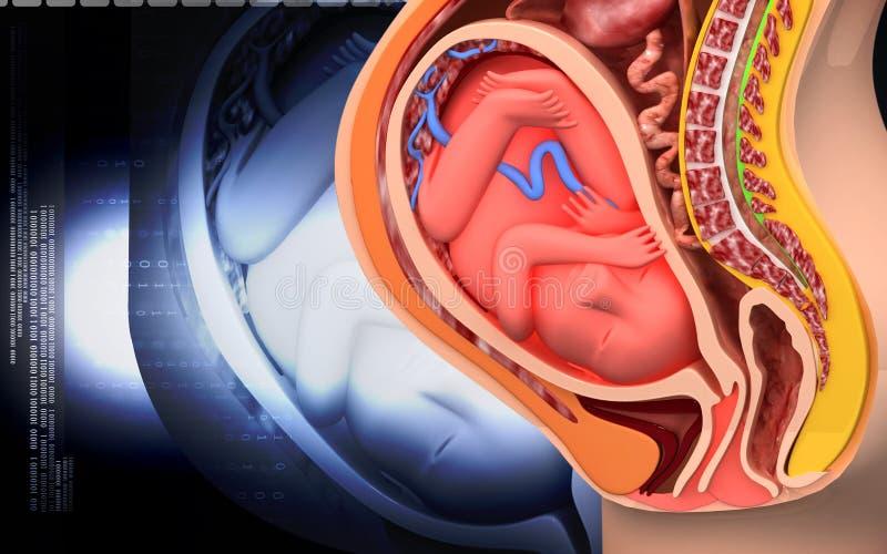 Schwangere Anatomie Mit Fötus Stock Abbildung - Illustration von ...