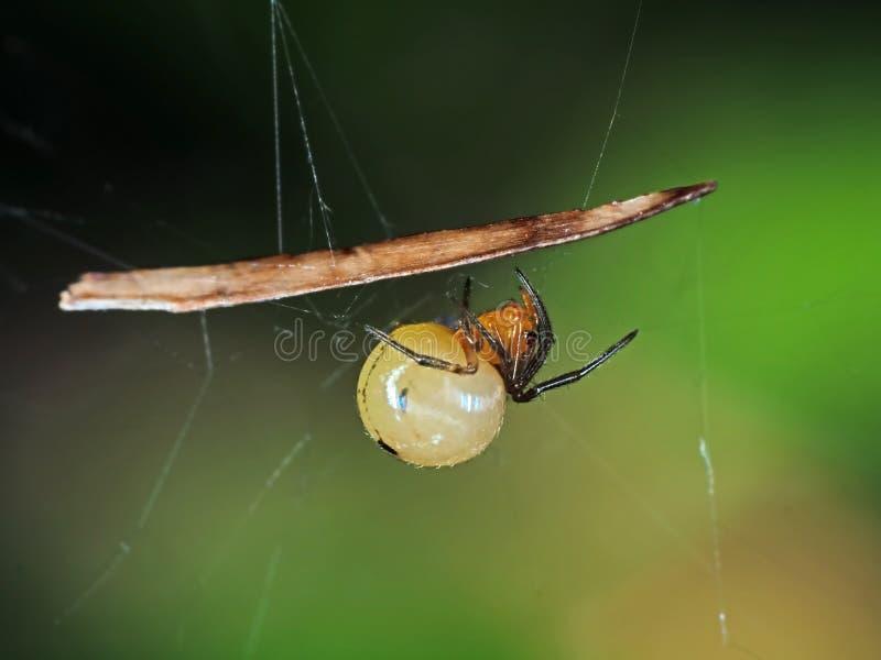 Schwangere orange Spinne auf Netz lokalisiert auf undeutlichem Hintergrund stockbild