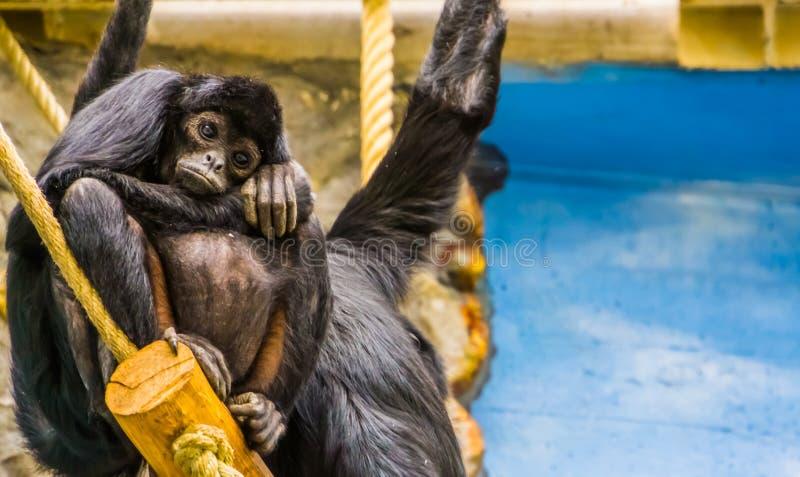 Schwangere schwarzköpfige Klammeraffe, Primas in der Schwangerschaft, kritisch gefährdeter Tierspecie von Amerika stockfoto