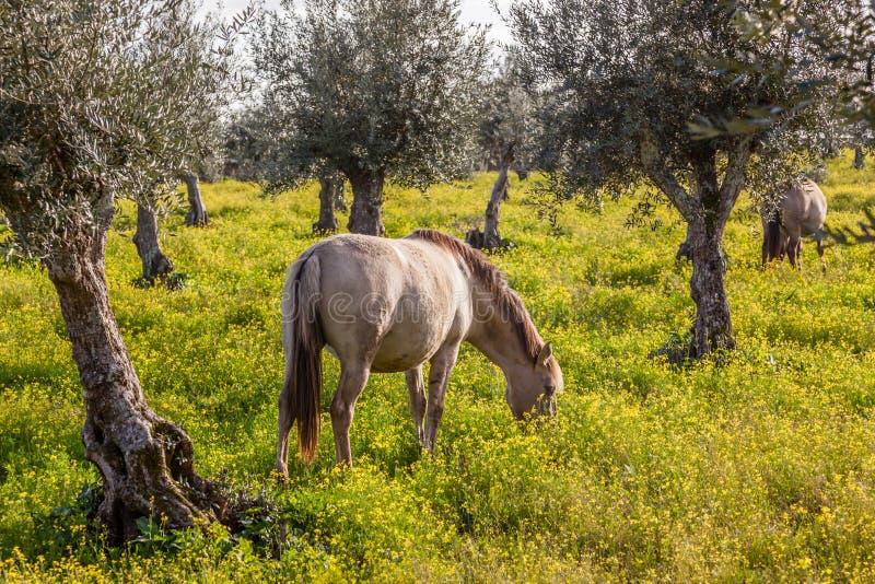 Schwangere Stute von der wirklichen Zucht der Änderung, ein Spitzen-Lusitano-Pferd stockbilder