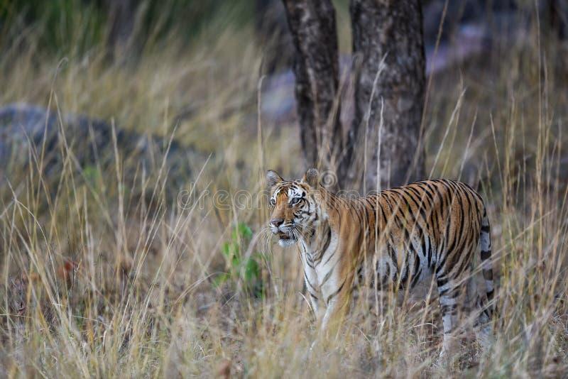 Schwangerer weiblicher Tiger Panthera der Tigris pirschte ein Opfer im Fell des langen Grases an und tarnt ihren Körper an kanha  stockfotografie